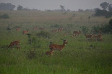 Uganda Kob