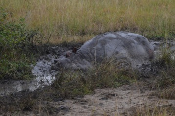 Hippo in the mud