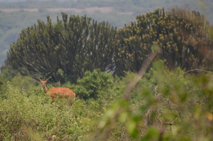 Bushbuck (another antelope)