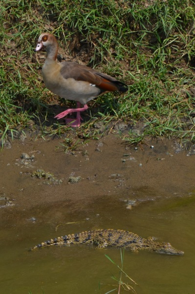 Egyptian Goose and Croc