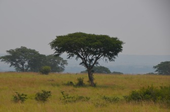 Acacia tree, another chance