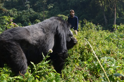 Hungry silverback