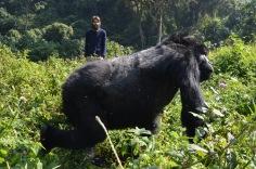Massive gorilla