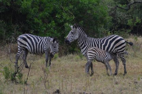 Zebra foal drinking