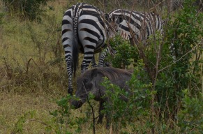 Warthog and zebra