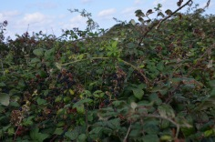 Blackberries along the cliff walk