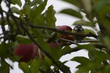 Bird that got the apple