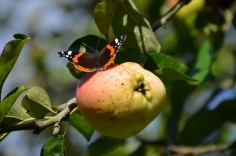 Butterfly on the apple