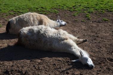 Sunbathing Llamas