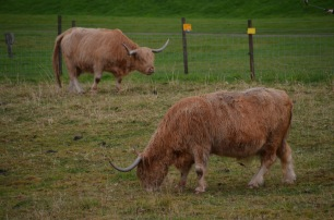 Highland Cows over the fence