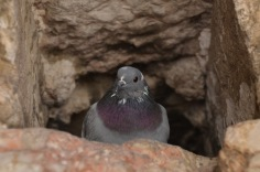 Pigeon in the wall