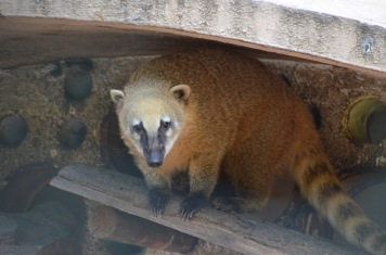 Coati (as seen in Ecuador, April)