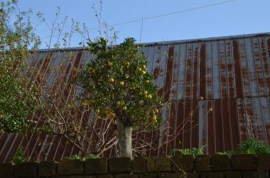 """...just a yellow lemon tree..."""