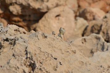 Lizard amongst the rocks