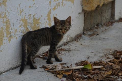 Taby kitten