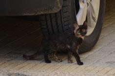 Mottled kitten