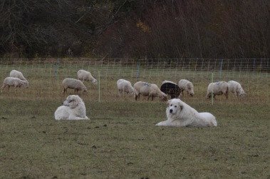 Great Pyrenees (french sheep dog)