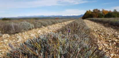 Found a lavender!