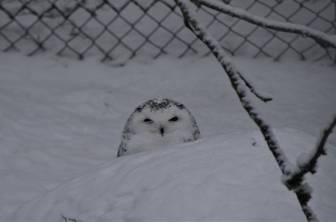 Snowy owl blob