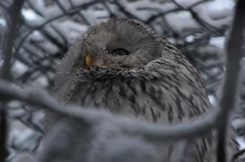 Ural owl looking away