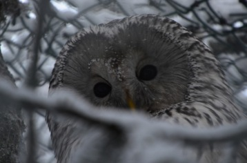 Ural owl looking our way