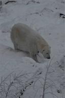 Polar bear on the move