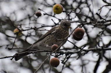 Bird in an apple tree