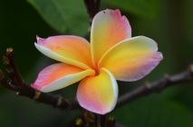 Peach Frangipani closeup